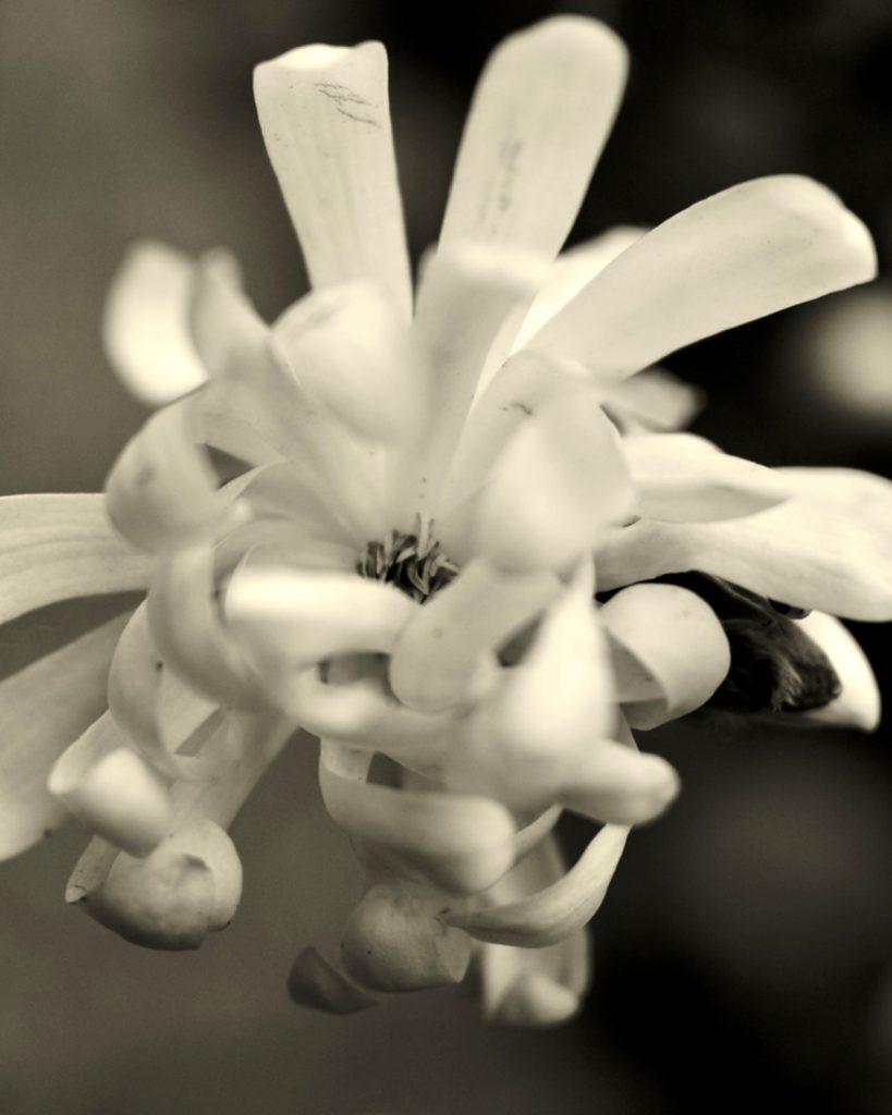 Foto ID: 2007, Magnolia Stellata FP